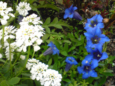 Tapeta: Hořec z Letné