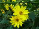 Tapeta hronský kvet