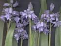 Tapeta Hyacint