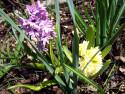 Tapeta Hyacint fialový a žlutý