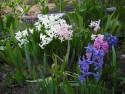 Tapeta Hyacinty