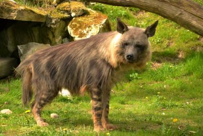 Tapeta: Hyena