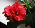 Tapeta Ibišek - červený květ