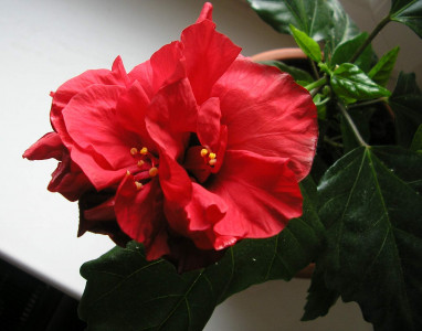 Tapeta: Ibišek - červený květ