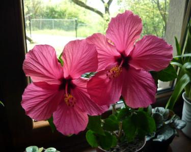 Tapeta: Ibišek-Čínská růže...