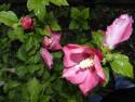 Tapeta Ibišek růžový