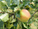 Tapeta Jablko