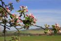 Tapeta Jabloňový květ3