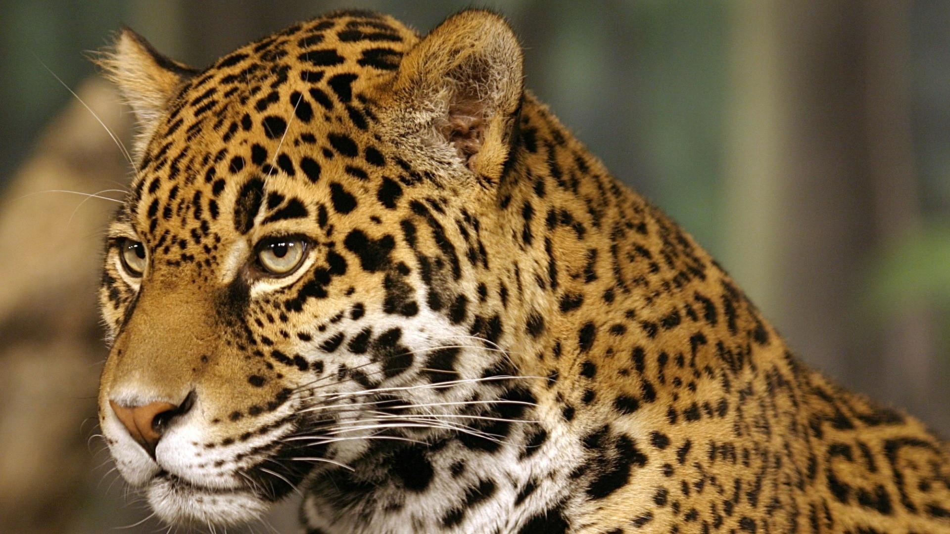 Tapeta jaguar_4
