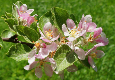 Tapeta: Jarní jablůňka