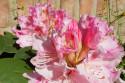 Tapeta Jarní rododendron