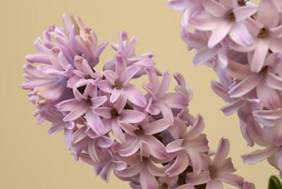 Tapeta: Jarní květ