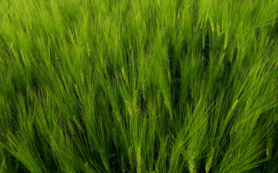 Tapeta: Jarní zeleň