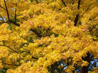 Tapeta: Javor na podzim