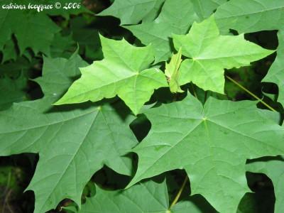 Tapeta: Javorové listy