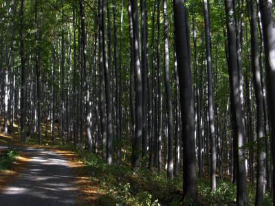 Tapeta: Jeseníky-Rabštejn-bučina_2005