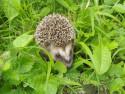 Tapeta ježek