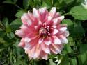 Tapeta Jiřina růžová s vosou