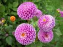 Tapeta Jiřiny pomponkovité fialové