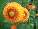 Tapeta Jiřiny pomponkovité oranžové