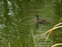 Tapeta Kachna v rybníku