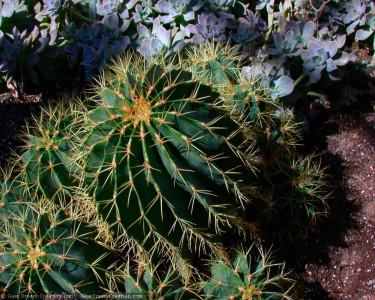 Tapeta: Kaktusák