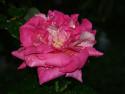 Tapeta Kapky na růži
