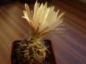 Tapeta Když kaktus rozkvete