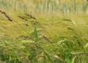 Tapeta Klasy pšenice