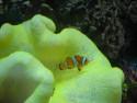 Tapeta Claunfish