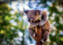 Tapeta Koala