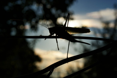 Tapeta: kobylka při západu slunce