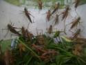 Tapeta kobylky