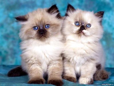 Tapeta: Kočičky 15
