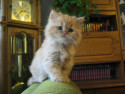 Tapeta kočka angorská