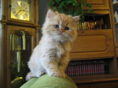Tapeta: kočka angorská