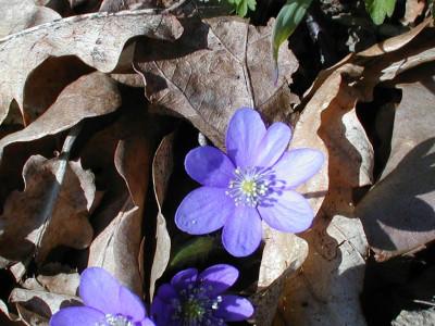 Tapeta: Kolekce květin 10