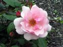 Tapeta Kolekce růží