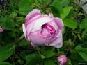 Tapeta Kolekce růží 10