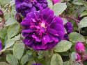 Tapeta Kolekce růží 11