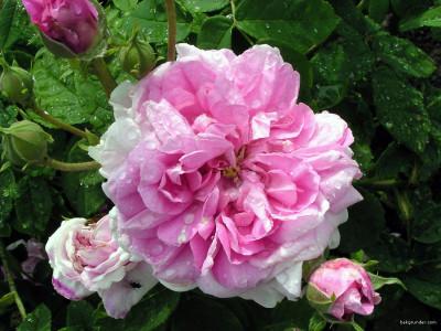 Tapeta: Kolekce růží 12