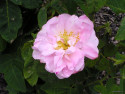 Tapeta Kolekce růží 14