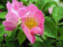 Tapeta Kolekce růží 15
