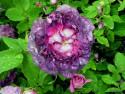 Tapeta Kolekce růží 16