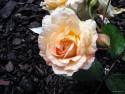 Tapeta Kolekce růží 17