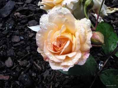 Tapeta: Kolekce růží 17
