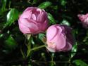 Tapeta Kolekce růží 18