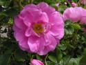 Tapeta Kolekce růží 19