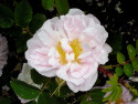 Tapeta Kolekce růží 20