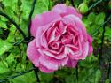Tapeta Kolekce růží 3